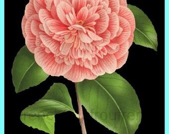antique victorian french botanical print pink camellia DIGITAL DOWNLOAD