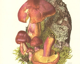 1963 Red-haired Agaric, Tricholomopsis rutilans Vintage Offset Lithograph