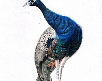 Indian Blue Peacock Bird Original Watercolor Painting