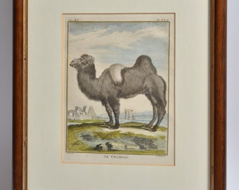 Antique Animal Engraving Hand Colored Print LE CHAMEAU Camel ca1772 BUFFON Natural History