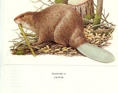 1970 Vintage beaver poster Vintage animal art Vintage beaver art Animal art Beaver decor Beaver gift Classroom decor Animal Decor Mammal