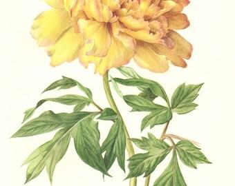 1972 Vintage peony art Botanical art Tree peony art Yellow flower poster French country decor Floral decor Flower gift Peony poster