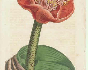 Antique Botanical Print/Engraving with original hand-coloring from Curtis' Botanical Magazine, Salmon-colored Blood-Flower 1808