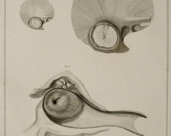 1823 Antique print of a human MEMBRANA TYMPANI of the EAR. Human Ear. 293 years old nice lithograph.