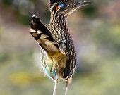 Bird Photography, Greater Roadrunner photo, southwestern décor, bird lover gift, rustic nature wall art, fine art print