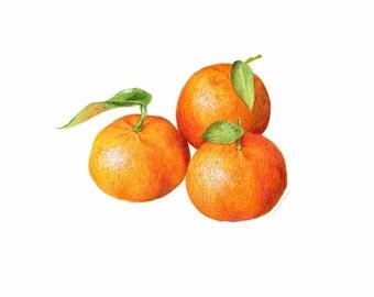 Three Tangerines // Food Illustration // Archival Art Print