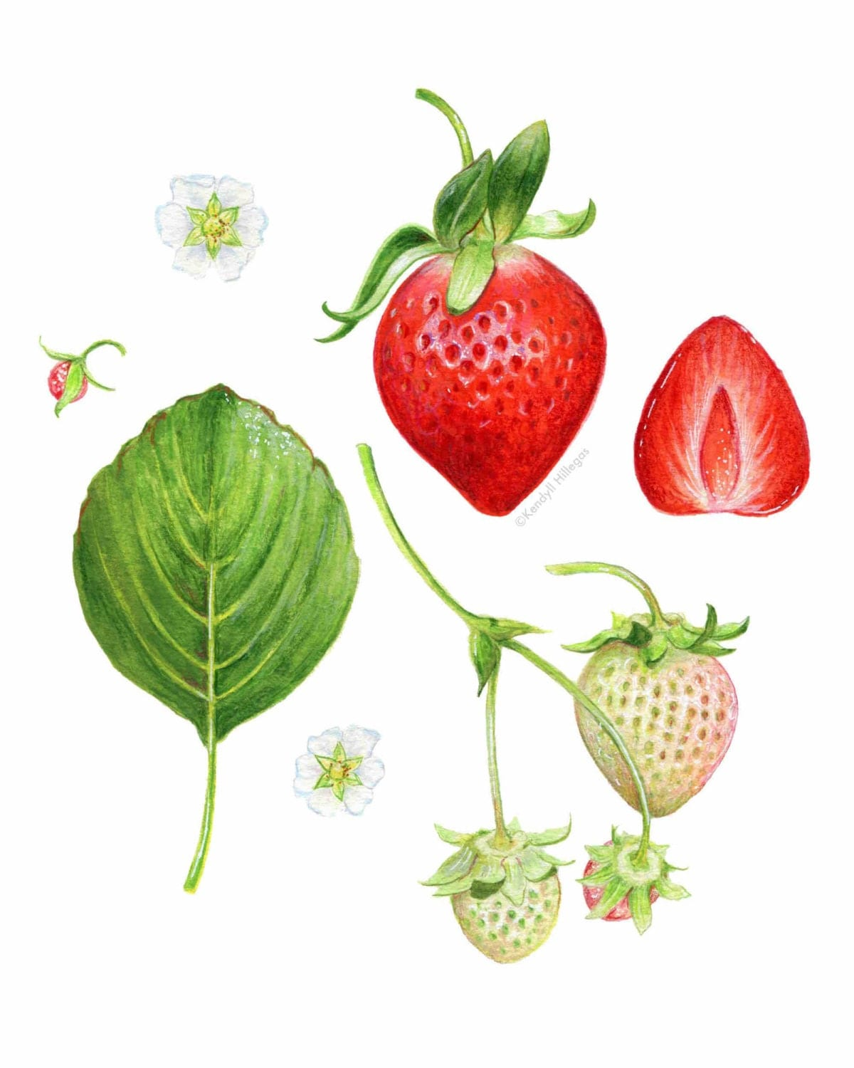 strawberry scientific illustration botanical art print
