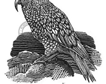 Bird illustration - Kea - bird art, print of original scratchboard artwork