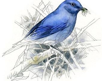 Mountain Bluebird watercolour - bird art, wildlife art - nature print of original artwork