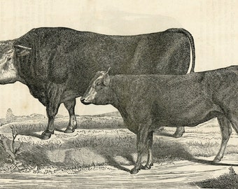 1880 Bull and Heffer Cattle Print Antique Engraving Cow Wall Art & Decor Ranch Farm