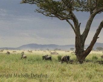 Serengeti Photography - Safari Art, Digital Photography, Acacia Tree, African Landscape, African Animals, Wildebeest Migration, Zebra Art