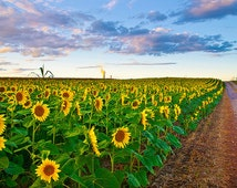 Sunflower Photograph, Cottage Chic Decor, Sunflower Wall Art, Yellow Flower Print, York County, Pennsylvania Landscape Photography