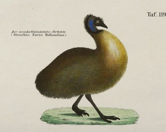 1854 Antique print of an EMU BIRD. Flightless Birds. Ostrich. Birds from Australia. 162 years old engraving