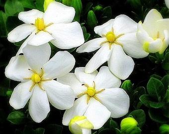 """Hardy Daisy Gardenia - Hardy 0 degrees - Kleim's Hardy - 2.5"""" Pot"""