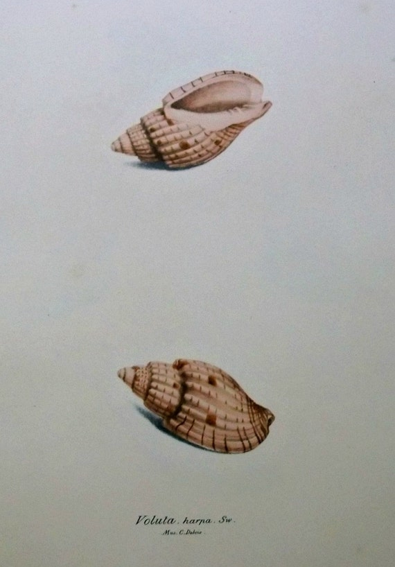 Voluta harpa. Exotic conchology print. 1968. Vintage book plate. Shell print. 11'3 x 9'2 inches.