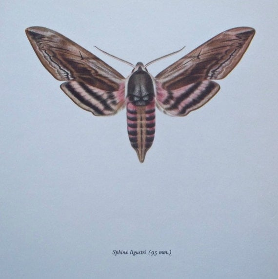 Vintage color book plate. Old print. Butterfly  Sphinx ligustri .1966 illustration. 8 x 10'1 inches or 20'5 x 26 cm.