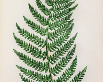 Anne Pratt Antique Fern Print - Angular Leaved Prickly Ferns Botanical Print
