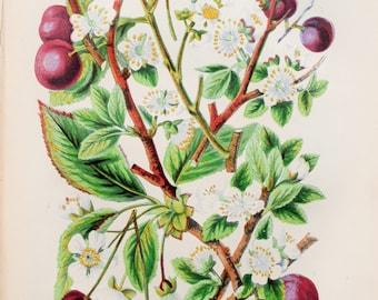 Anne Pratt Antique Botanical Print - Sloe, Plum, Bullace, Bird Cherry, Wild Cherry (65)