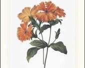 Flower Print Botanical (Orange Flower Nursery Wall Art, Redoute Art) --- Vintage Double Matted Print No. 75