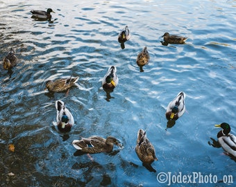 Fine Art Nature Photograph 'Ducks' Swimming on Water Instant Digital Download Printable