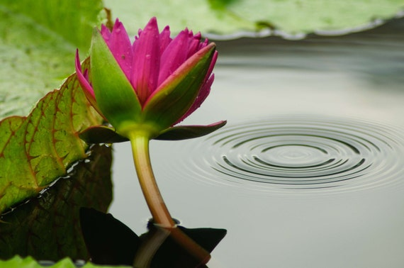Pink Water Lily with Lily Pad