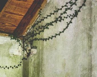 Photograph, Plantation Vines