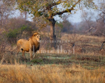 African Male Lion Fine Art Photograph