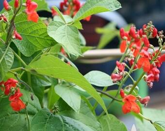 Scarlet Emperor Runner Bean Heirloom Seeds - Non-GMO, Open Pollinated, Untreated