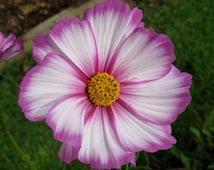 Cosmos 'Candystripe' - Cosmos bipannatus (50+ seeds)