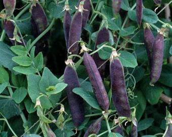Purple Podded Peas - 75 seeds (Organic/non-GMO)