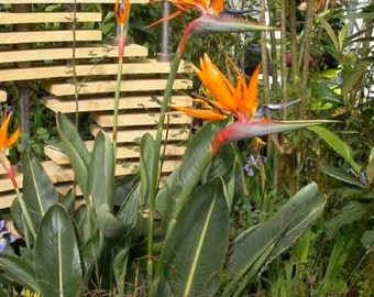 Strelitzia Reginae - 10 Seeds - Bird of Paradise
