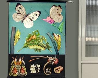 Vintage pull down chart Kohlweißling / cabbage butterfly Germany school