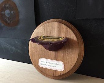 Purple Scalloped Polypore: Mounted Papier-mâché Shelf Fungus