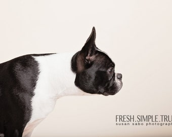 Curiouser & Curiouser (Boston Terrier dog photography)