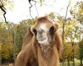 Friendly Camel Fine Art Print