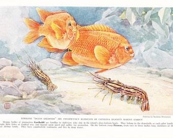 1937 Fish Print - Garibaldi and Prawns - Vintage Antique Nature Science Animal Art Illustration Cabin Cottage Home Decor for Framing