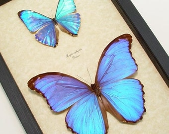 Real Framed Morpho Zephyritis and Morpho Godarti Butterflies Shadowbox Display M1020