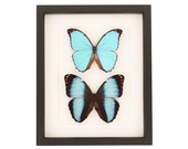 Framed Blue Morpho Collection 9x11 Gallery Shadowbox Frame