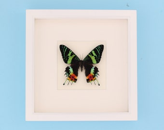 Framed Moth Display Madagascan Sunset Moth White Shadow Box Frame