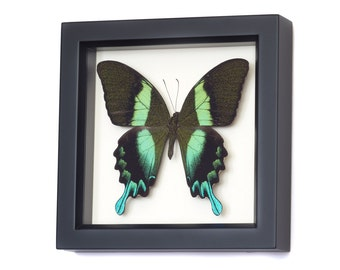 Insect Art Real Butterfly Shadow Box with Peacock Swallowtail