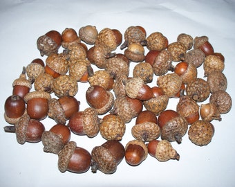 50 Acorns, For Crafting (Free US Shipping)