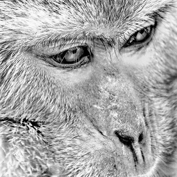 Windows of the Soul  - Formosan macaque wall decor eyes natural beauty wild monkey Fine Art Print 8x8