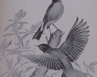 Menaboni's Birds/ROBIN/1950s Black and White Plate/Bookplate/Unframed Book Page Print
