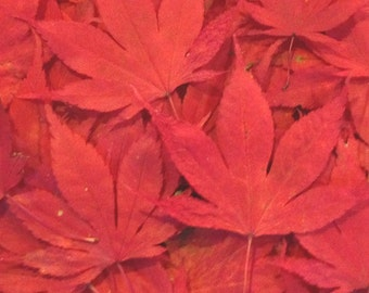 SALE, 500 Real Pressed Red Japanese Maple Leaves - Perfect for Weddings, Flower Girl Toss, Events, Decorations,