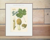 Yeast, Bladder Plum, Ergot, Black Spot, False Morel, Poisonous & Edible Fungus 19, Kitchen Decor Country Cottage  Mushroom Print,1974, Jiri