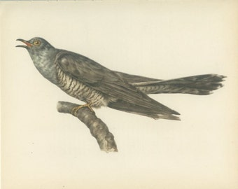 Vintage Bird Print, Cuckoo Bird Print, European Cuckoo, Grey Cuckoo, 10 x 8, Book Page 33, Ornithology, Natural History, 1959, Demartini