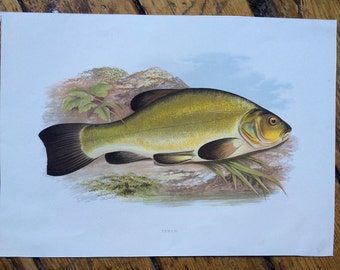 1879 tench fish print original antique sea life ocean marine animal print by houghton