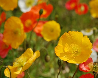 Poppy, Champagne Bubbles Iceland Poppy Seeds | Darling Poppies in Bold Colors