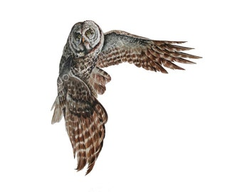 Great Grey Owl - Archival quality print