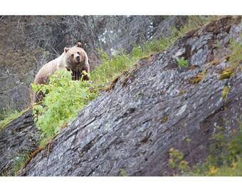 Grizzly Bear, Glacier National Park, Fine Art, Photo, Print, Wildlife, Montana, Logan Pass, Cabin, Nature, Photography
